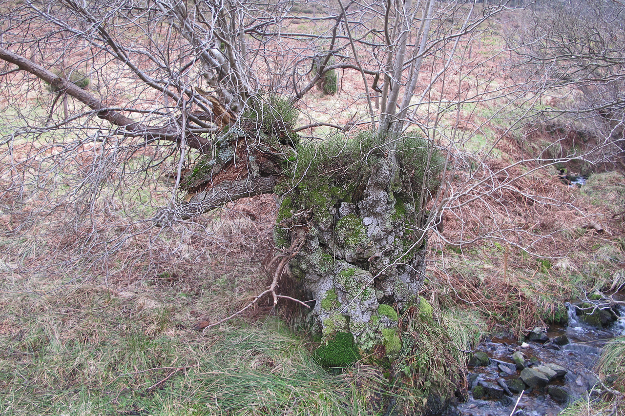Alder with heather Back Wood wood pasture
