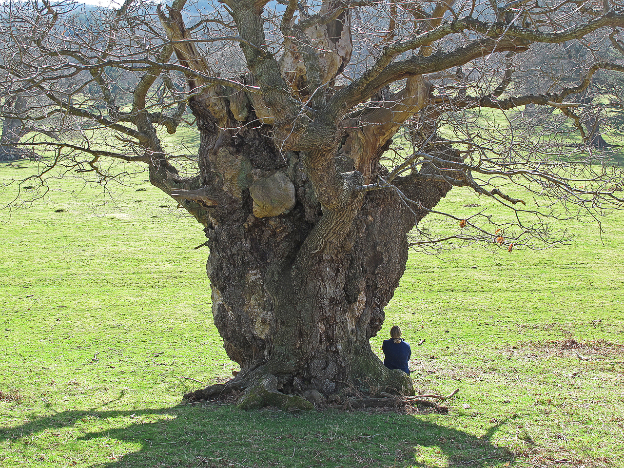 Old man oak at Moccas Park